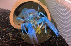 Procambarus Alleni blár humar