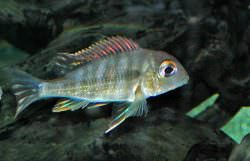Geophagus Orange Head