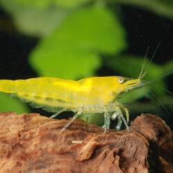 Neocaridina-heteropoda-var-yellow
