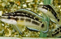 Julidochromis Transcriptus Black