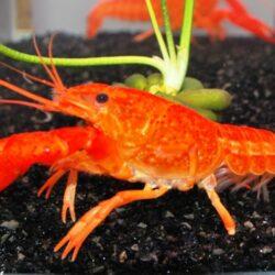 Procambarus clarkii