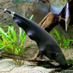 Black-Ghost-Knifefish