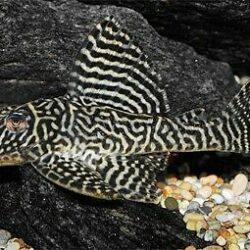 L066 King Tiger Pleco