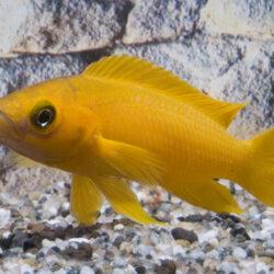 Neolamprologus-leleupi-Lemon-Cichlid