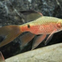 Rosy_Barb Long Fin