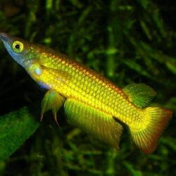 New Golden Wonder kilifish