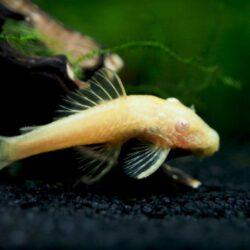 albino ancistrus small