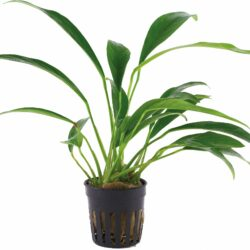 anubias-barteri-var-angustifolia