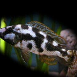 haplochromis-livingstonii