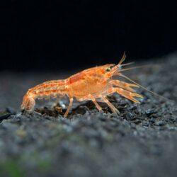Orange-Dwarf-Crayfish