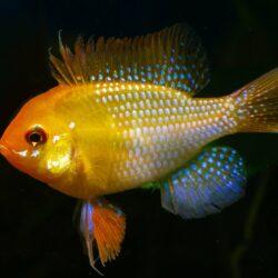 Mikrogeophagus ramirezi Gold