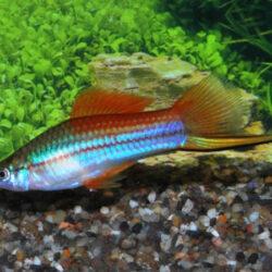 Neon-Swordtail-Xiphophorus-hellerii
