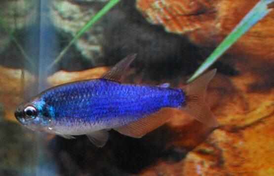Royal Tetra Super Blue