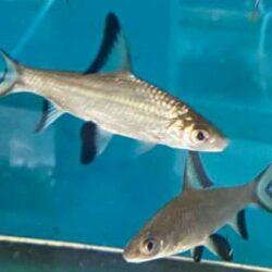 bala-shark
