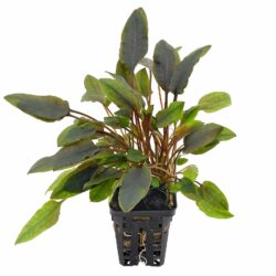 cryptocoryne-walkeri