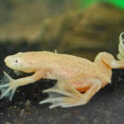 gold-dwarf-african-frog