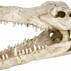 Crocodile skull 14cm