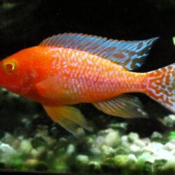Aulonocara-sp.-Strawberry-Albino